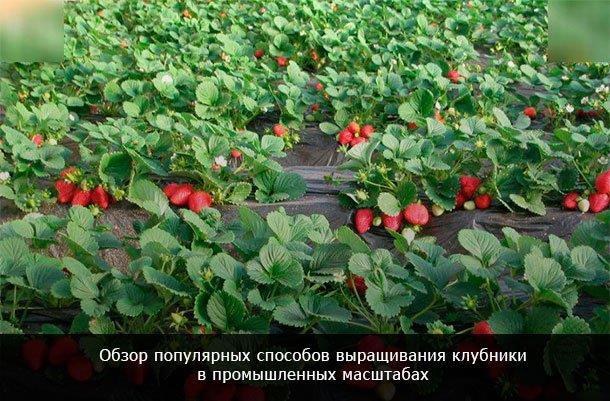 Клубничный бизнес - 4 способа рентабельного выращивания клубники