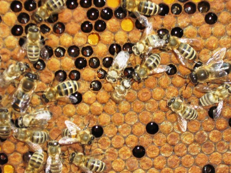 Бизнес на разведении пчел