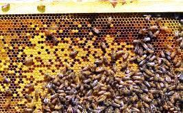 Покупка пчел для пасеки
