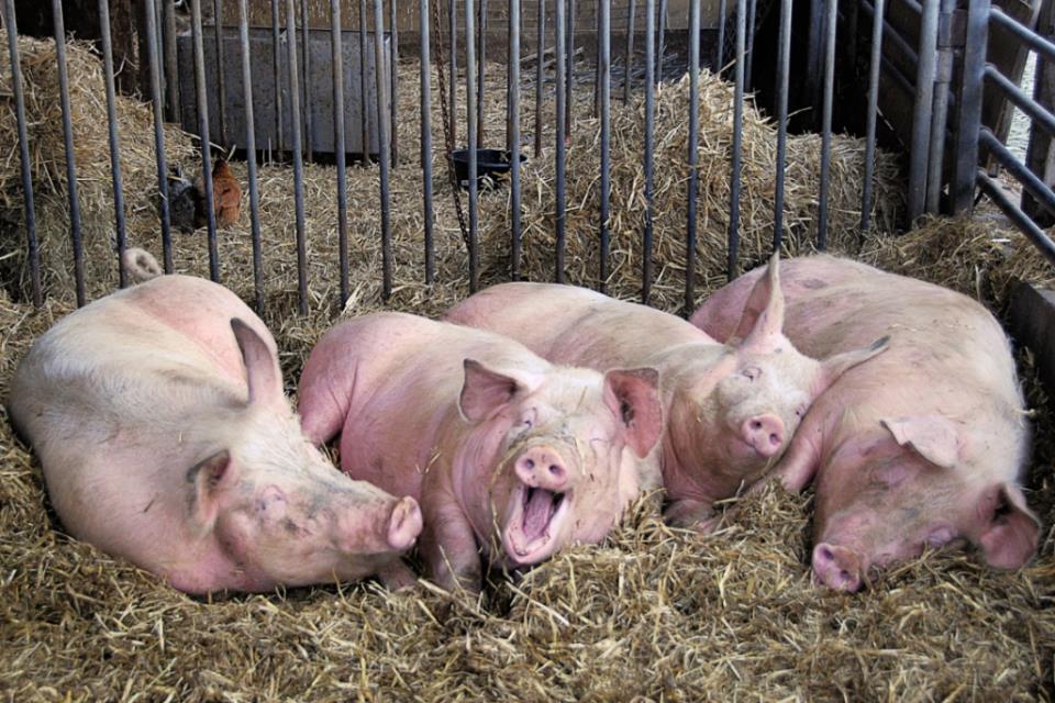 сельский бизнес по разведению свиней