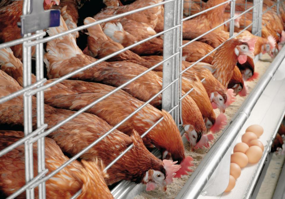 деревенский бизнес по разведению птицы