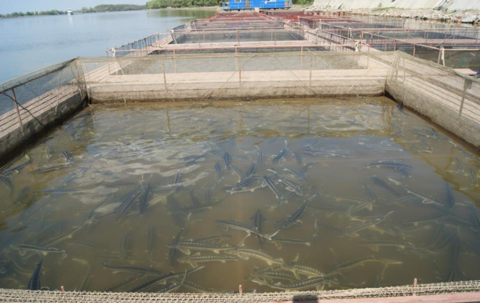 деревенский бизнес по разведению осетровых рыб