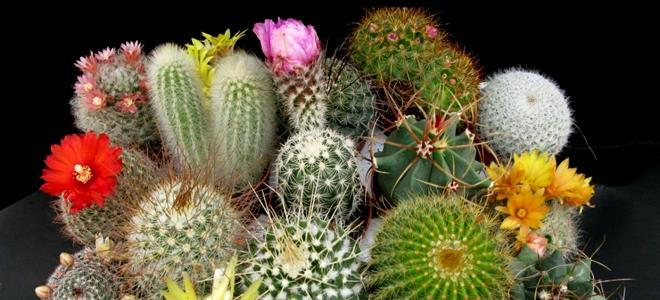 продажа кактусов