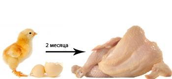 Цыпленок бройлер и тушка.