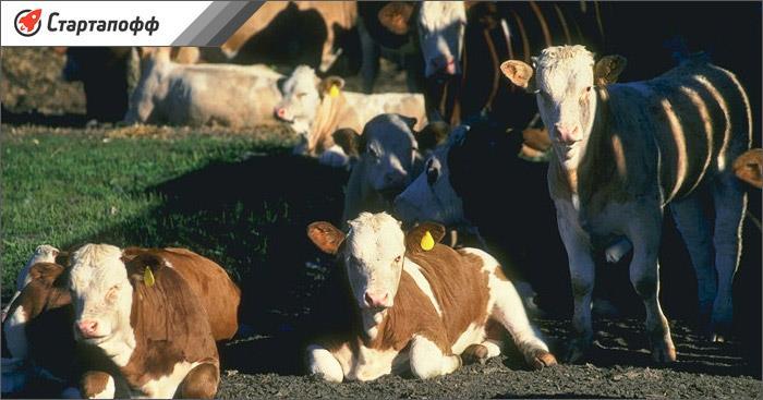 Мини-ферма с коровами