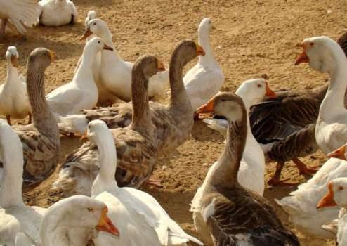 Бизнес план по разведению животных и птицы