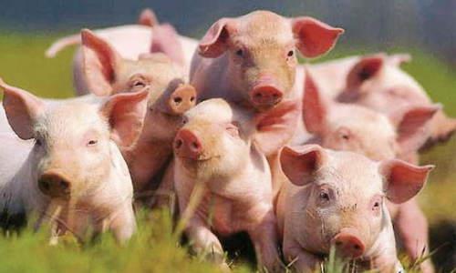 бизнес план разведения свиней
