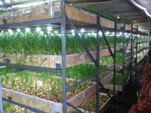 Выращивание зелени зимой и летом