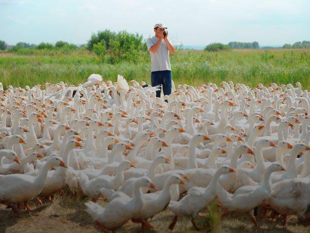 Мини гусиная ферма - как заработать миллион на разведение гусей