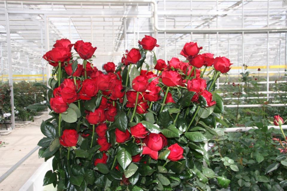 Бизнес-идея выращивания роз в теплицах