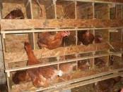 Разведение кур несушек на яйца