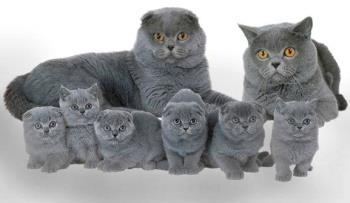 Бизнес на породистых кошках.