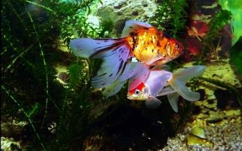 Выращивание аквариумных рыбок.