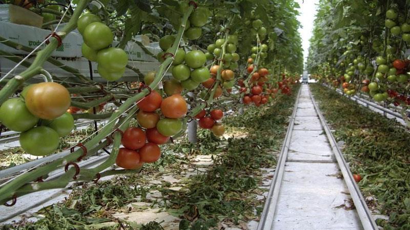 Выращивание огурцов и помидоров в теплице как бизнес