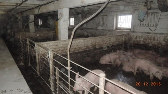 загон для свиней