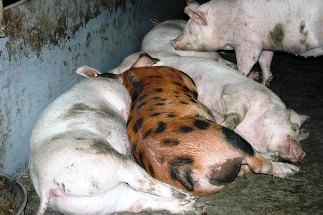 Содержание свиней разных пород вместе