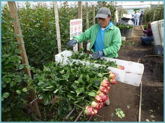 как выращивать и продавать розы