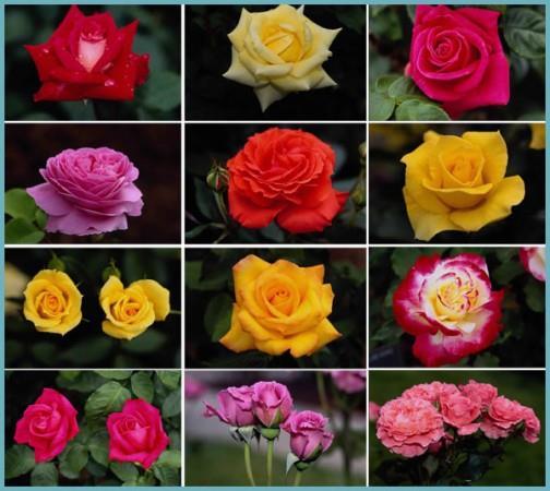 выращивание роз разных сотртов