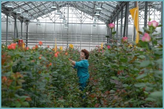 организация бизнеса по выращиванию роз
