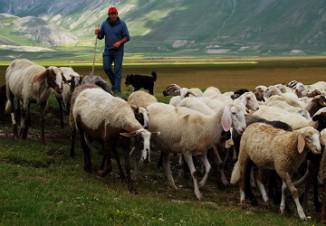 покупка и продажа овец