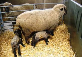 разведение и содержание овец