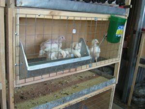 цыплята бройлеры в клетках