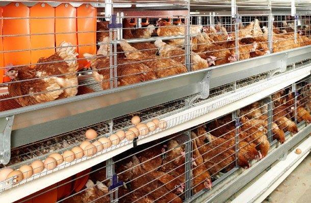 Мини-птицеферма как бизнес