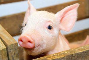 бизнес план мини свинофермы