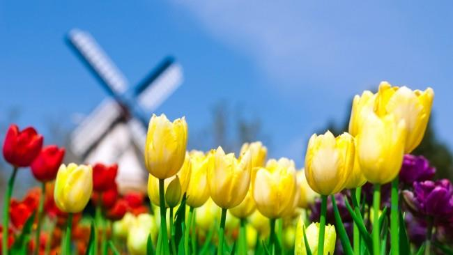 Тюльпаны будут хорошо продаваться весной