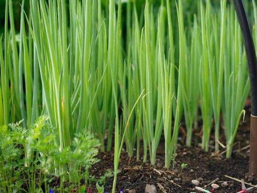 Зеленый лук растет в теплице