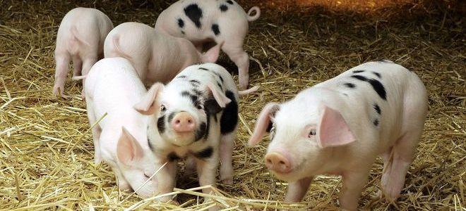 бизнес на свиньях в домашних условиях
