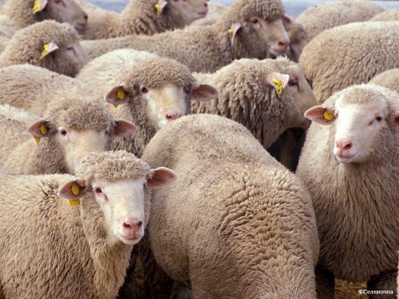 овцеводство1