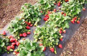 Бизнес по выращиванию ягод в деревне и селе