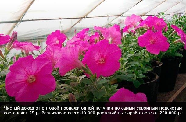Цветущий бизнес: как заработать на выращивании петуний