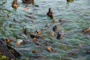 Кормления рыбы в искусственном водоеме