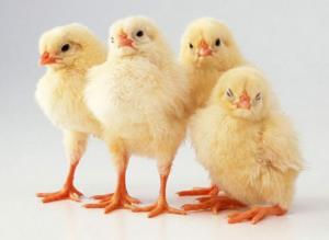 покупка цыплят