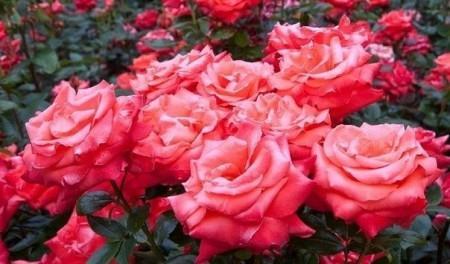 Выращиваем розы - интересный бизнес