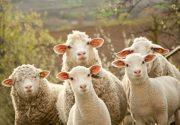 Разведение овец, как бизнес. С чего начать? Как преуспеть?
