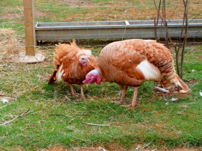 домашняя куриная ферма