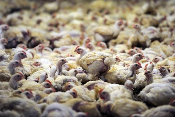 фермерское птицеводческое хозяйство