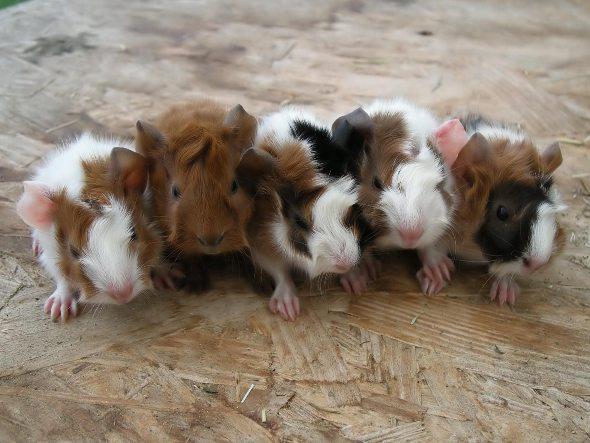 Семейка морских свинок!