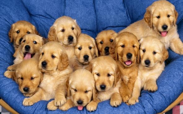 Много милых щенков!