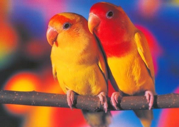 Пара попугайчиков!