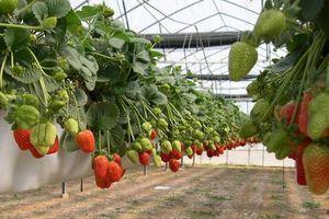 Особенности выращивания клубники в тепличных условиях