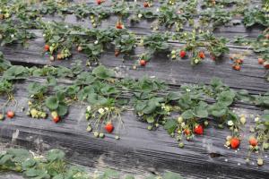Промышленное выращивание клубники под укрывным материалом