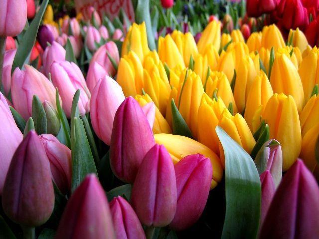 Выращивание тюльпанов к 8 марта в теплице