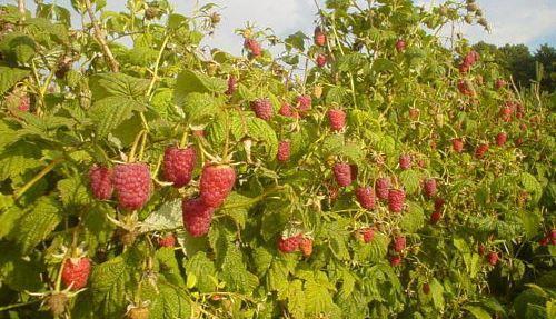 Выращивание малины как бизнес – технология и рентабельность
