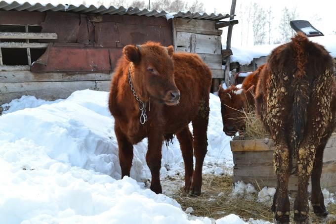 говядина, бычок, животноводство