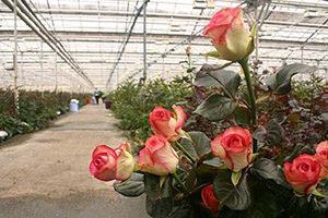 Как вырастить розы в теплице с целью продажи?
